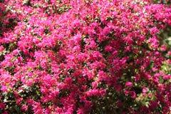 Pink Azalea blooming bush stock photo