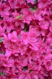 Pink Azalea Blooms - Background Royalty Free Stock Photo