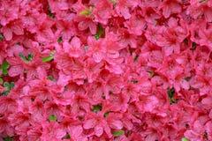 Pink Azalea Blooms - Background Royalty Free Stock Photos