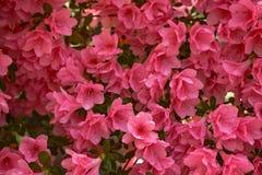 Pink Azalea Blooms - Background Royalty Free Stock Image