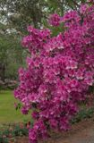 Pink Azalea Blooms Bend Branches. Along green lawn Royalty Free Stock Image