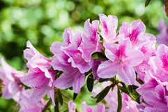 Pink Azalea blooms on bush Stock Images