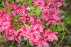 Pink Azalea Blooms Royalty Free Stock Image