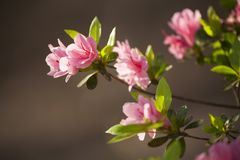 Pink Azalea Blooms Stock Images
