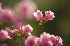 Pink Azalea Blooms Stock Photo