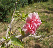 Pink azalea blossom. Lush and fresh flower of Pink azalea plant Stock Image