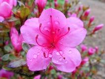 Pink azalea. Pink blossom of azalea after rain Stock Image