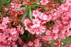Pink azalea blossom Royalty Free Stock Image