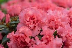Pink azalea blossoms closeup Royalty Free Stock Images