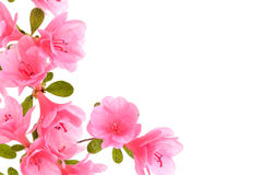 Pink azalea border. On a white background stock images