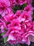 Pink Azalea. A bunch of bright pink Azalea flowers Royalty Free Stock Photography