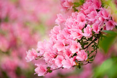Pink azalea bush stock photo