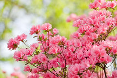 Pink azalea bush Royalty Free Stock Photos