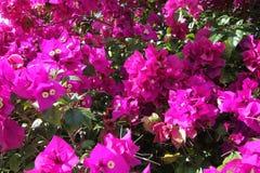 Pink azalea bush Stock Image