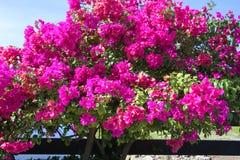 Pink azalea bush Stock Photo