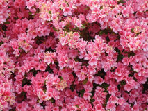 Pink Azalea. Azalea Bush Closeup. Photography by Laura Alexander Royalty Free Stock Photos