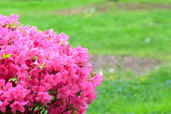 Pink Azalea Bush in the Springtime Stock Photos
