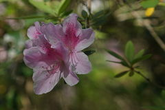 Pink azalea close-up Royalty Free Stock Images