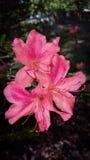 Pink Azalea Cluster Stock Image