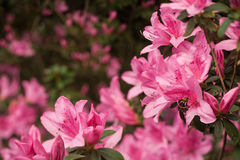 Pink Azalea Clusters on Soft-Focus Background Stock Images