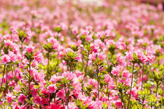 Pink azalea field Royalty Free Stock Photography