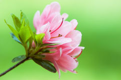Pink azalea flower Royalty Free Stock Photo