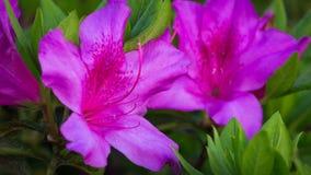 Pink Azalea flower in bloom. Pink azalea flowers blooming in spring Stock Photos