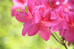 Pink Azalea Flower. Blooming close up stock image