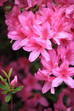 Pink Azalea Flower. Blooming close up royalty free stock images