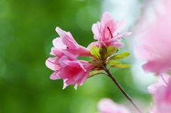 Pink azalea flower in the garden Royalty Free Stock Photos