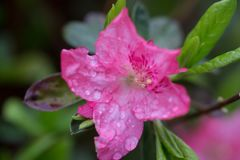 Pink azalea flower in the garden covered in rain droplets. Pink azalea flower with rain droplets on the petals in the garden close up green background Royalty Free Stock Photos