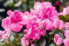 Pink Azalea flowering plant in bloom Royalty Free Stock Images