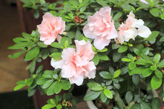 Pink azalea flowering plant Royalty Free Stock Images