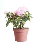 Pink azalea in a flowerpot Royalty Free Stock Photography