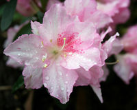 Pink Azalea flowers. In bloom with drops of dew or water on petals stock photos