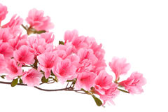 Pink azalea flowers. Isolated on white royalty free stock photo