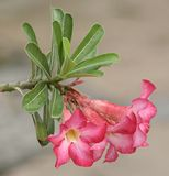 Pink azalea flowers Stock Image