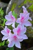 Azaleas Royalty Free Stock Images