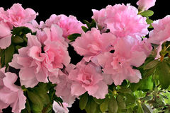 Pink azalea flowers in bloom Stock Photos