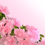 Pink azalea flowers in bloom Royalty Free Stock Images