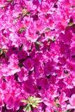 Pink azalea flowers in bloom Stock Images