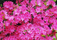 Pink Azalea Flowers Stock Images