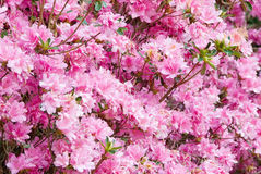 Pink Azalea Flowers at Callaway Gardens in Pine Mountain GA Royalty Free Stock Photos