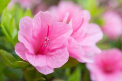 Pink azalea flowers. This is a close-up photo of a pink azalea flowers Royalty Free Stock Image