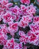 Pink azalea flowers closeup Stock Images