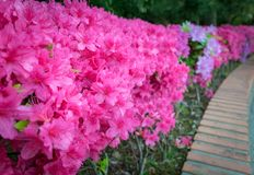 Pink Azalea flowers in garden. Pink flowers with selective focus royalty free stock photography