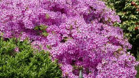 Pink azalea flowers in a garden. Spring time royalty free stock image