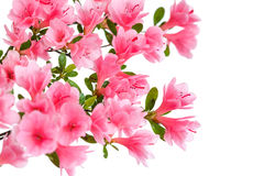 Pink azalea flowers. Isolated on a white background stock photo
