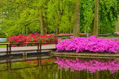 Pink azalea flowers near the pond, Keukenhof Park, Lisse in Holland Royalty Free Stock Photo