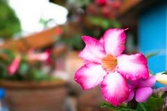 Azalea flowers after rain on background stock photo